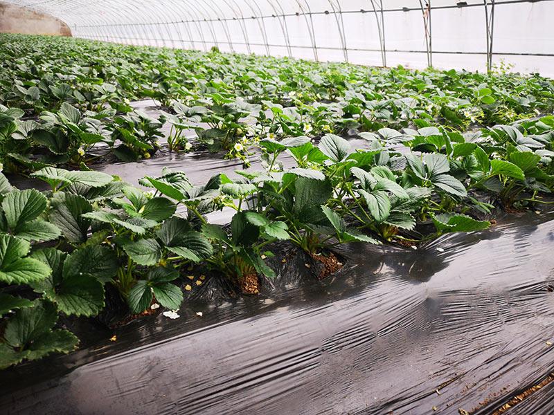 草莓基-2.jpg